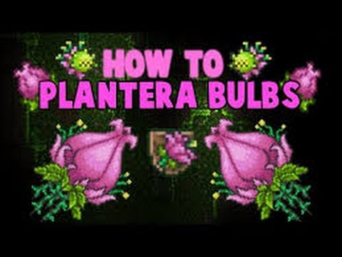 Terraria how to find plantera bulb easy