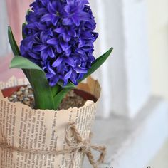 hyacinth care instructions indoors